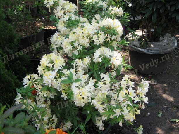Азалия - кустарничек прекрасненько идет чтобы сада