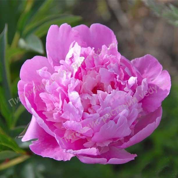 фото пиона Amabilis Superbissima