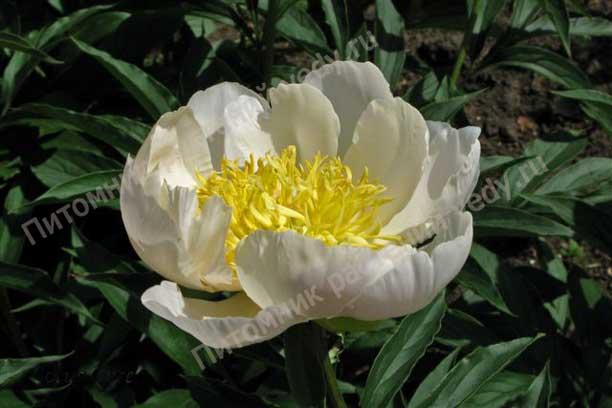 фото пиона Lotus Queen